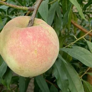 现在秋桃开始上市了,含糖量,绝对超甜,爽口,有需要可以...