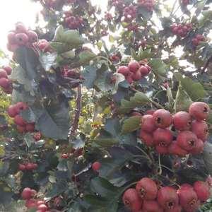山楂又称红果、山里红,具有很高的营养价值。由于山楂可以增...