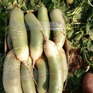 肥城市里外青萝卜大量上市,今年种植面积广,价格比往年低很...