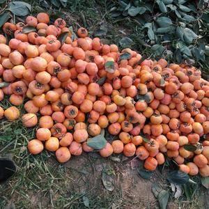 大量供应八月黄甜心柿子