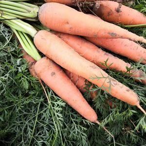 开封胡萝卜大量上市,欢迎前来考察采购,,,