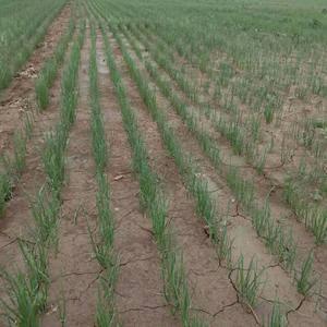 洋葱苗预售中,二红半高桩,高产优质。
