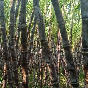 广西阳朔福利镇上万亩甘蔗上市了,总产量10万吨以上,甘蔗...