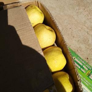 大量酥梨口感好,脆甜,适合长沙,武汉市场!