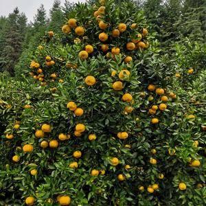 七十岁爸妈的桔园,新余蜜桔大量批发