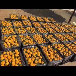 七十岁父母种的新余蜜桔大量批发