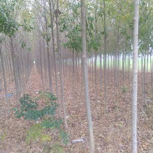速生白蜡树林有大量的树木急出售,八,九,十,十二,十三个...