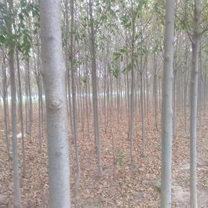 本人现有大量的白蜡树急出售,规格齐全大小不等五,六,七,...
