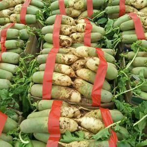 山东青萝卜,里外青萝卜,水果萝卜大量上市,今年价格便宜,...
