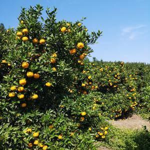 新余蜜桔开园卖了,联系电话15979887355汤新国