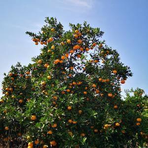 新余蜜桔,今天开园,日供5万斤,有需要联系1597988...