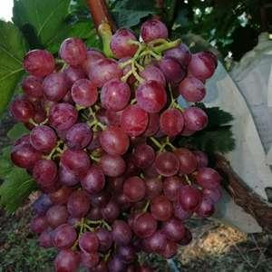 谁种葡萄树了,可以找我,有下黑葡萄树苗,有红宝石葡萄树苗...