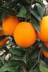 秭归脐橙全年供应:脐橙,纽荷尔,长虹,二月红,红心橙,伦...