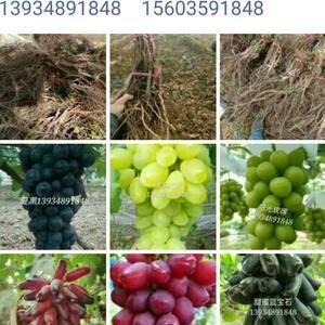各品种葡萄苗热卖中。