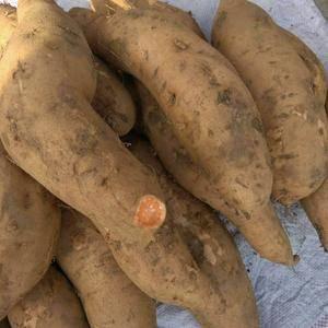 大量红薯陆续上市了 品种全 价格低上货量大 品种有 来福...