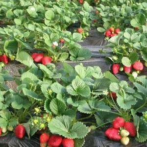 草莓开始上市