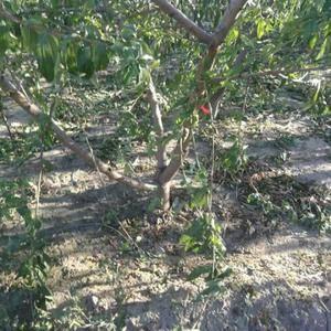 大量占地桃树出售 量大15653271708