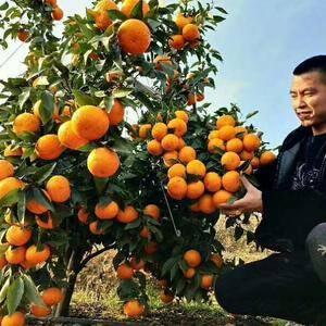 出售沃柑,南丰蜜桔,贡柑,砂糖橘等18176013423