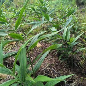 优质 高产 多花不倒苗姜形甜黄精种苗 保成活率98%