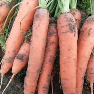 大量供应胡萝卜有需要的可以实地考察合作