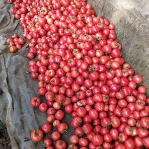 温室硬粉西红柿大量上市,专业的朋友请提前联系一下1383...