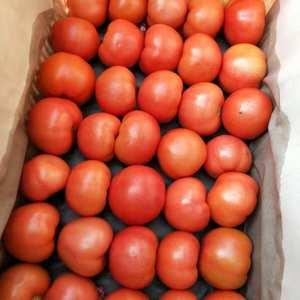 河北饶阳南北岩温室西红柿,温室集中面积大,是全国屈指可数...