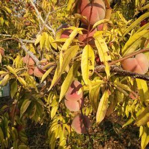 冬桃大量下树了,需要的联系我价格优惠。姚征1555492...