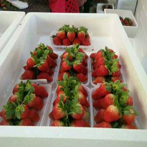 代收代购草莓即将上市价格美丽欢迎联系