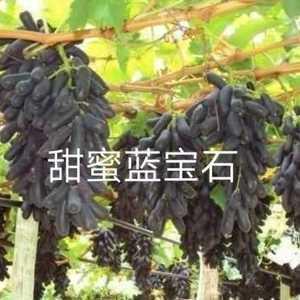 云朋葡萄苗繁育专业合作社,绍星六号,浪漫红颜,甜蜜蓝宝石...