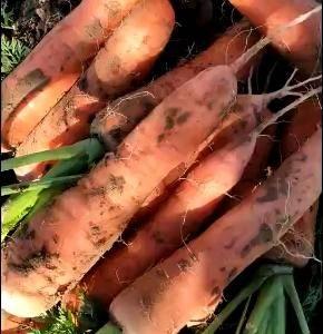 专业加工带苗红萝卜