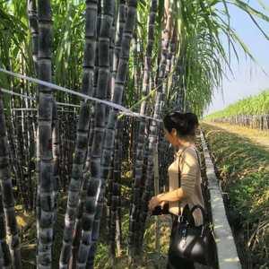 中国甘蔗看广西、广西甘蔗看玉林!肥沃的土壤,丰富的水源,...