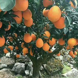 秭归橙子产地直销,欢迎选购!代办回程车,各种包装箱,洗果...