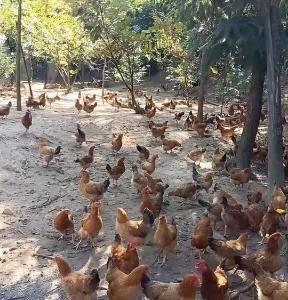土鸡出售,原生态竹林放养,纯玉米喂养,搭配米糠中草药,6...