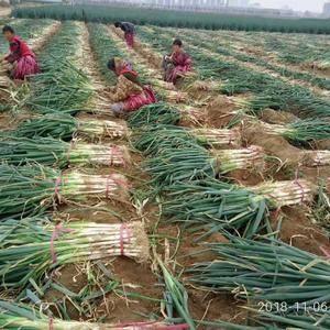 邢台市隆尧县长白大葱已大量上市中,鸡腿大葱也上市了,质量...