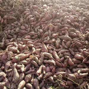 大量出售红皮白心高淀粉红薯
