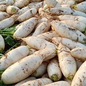 大量白萝卜上市了有需要的老板请联系15238039835