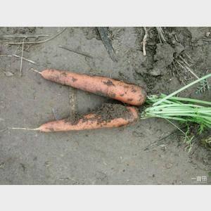 菏泽三红红萝卜大量上市中了,条形好 口感好,适应各大市场...