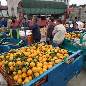 上海北部长兴岛特产蜜橘,水分足甜度高,天然养料孕育的独特...