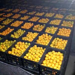 本农场大量供应石门桔子100吨。