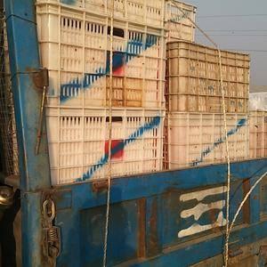 河北饶阳南北岩温室硬粉西红柿大量上市。现有郑州、北京、廊...