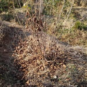 本人长年大量供应占地、种植的优质榛苗,有1~6年生苗木,...