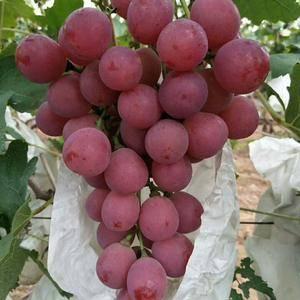 大量供应红堤葡萄,欢迎各地水果商前来考查。