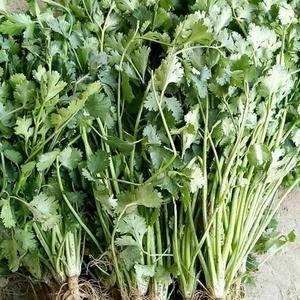 聊城铁杆绿中叶香菜以上市,适合储存,发全国市场。质量好上...