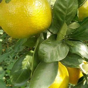 橘子,皇帝橘,准备出售了……出售了……2018第一批鲜果...