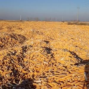 山西应县自产玉米出售