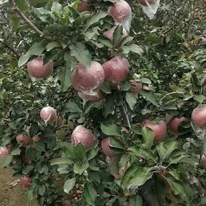 宫崎富士苹果,煮熟的大豆追肥,个大,口感好,冰糖心,全国...
