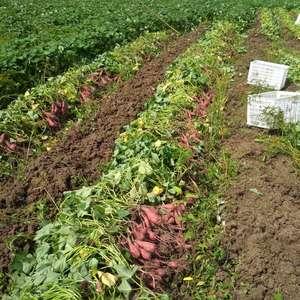 衢州十里丰小红薯大量上市,有需要的请联系18457035...