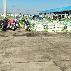 河北唐山市滦南县大量供应北京三号白菜,质量供,价格低,
