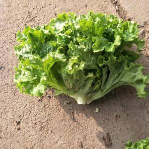 河北唐山市滦南县大量供应散叶生菜,质量好,价格低,