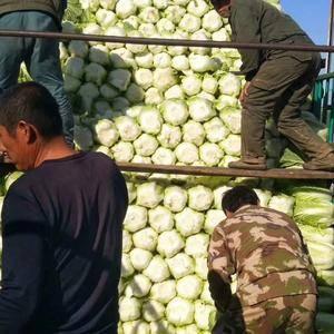 山东潍坊地区优质黄心白菜火热供应,有需要的联系,今年质量...